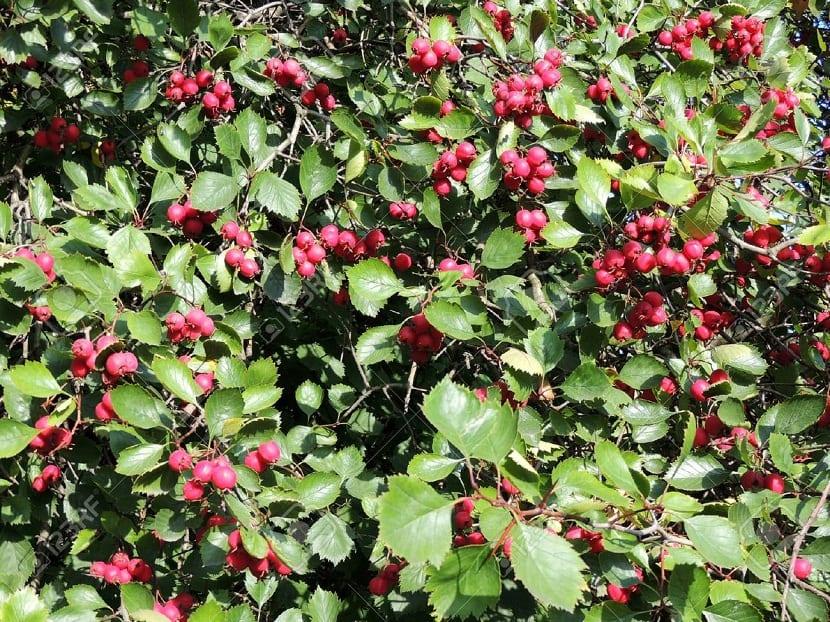 arbusto o zarzal lleno de bayas