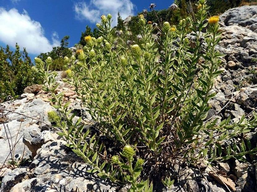 arbusto que crece en las rocas y con flores que tienen fines medicinales