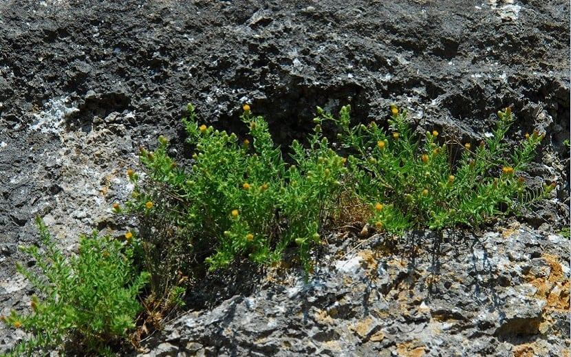 arbusto que crece entre las rocas y tiene fines medicinales