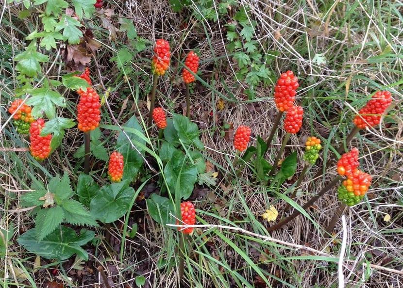 arbusto silvestre con una especie de racimos rojos