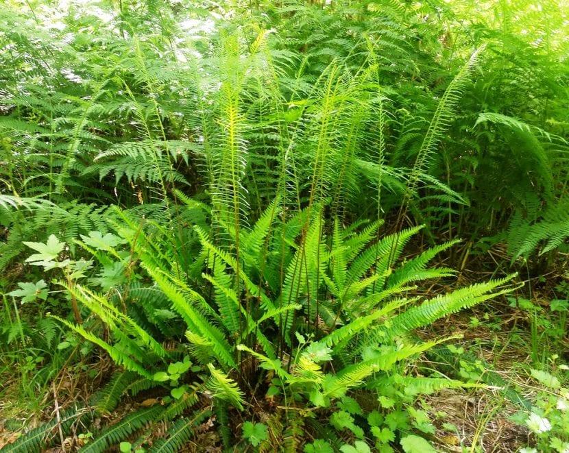 El Blechnum spicant es una planta de sombra