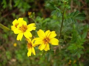 bonitas flores de color amarillo parecidas a las margaritas
