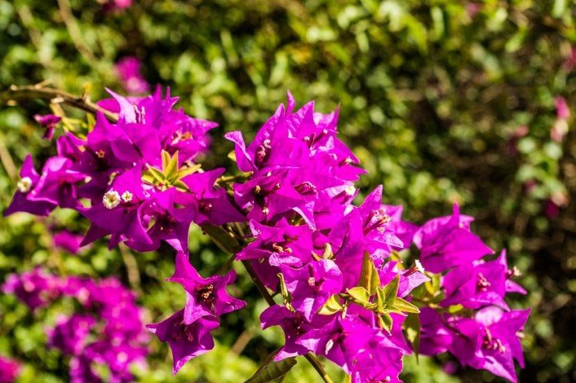 Las buganvilla produce muchas flores