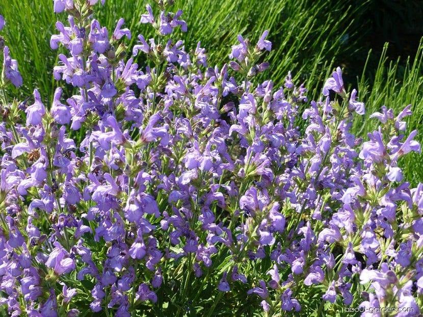 campo lleno de flores aromaticas de color lila