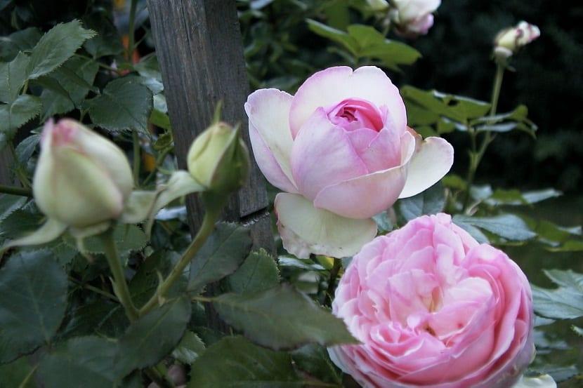 capullos de rosas cerrados y abiertos en rosal