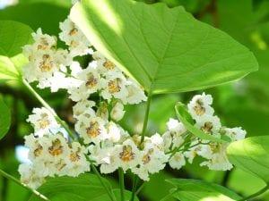 La Catalpa produce flores blancas