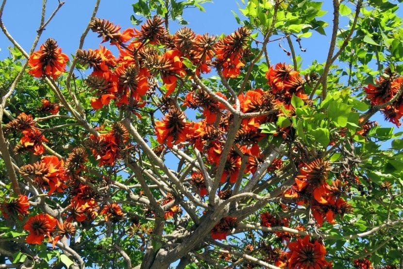El ceibo es un árbol de origen tropical