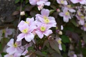 Clemátide en flor