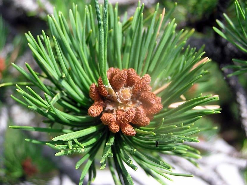 Cono del pino negro