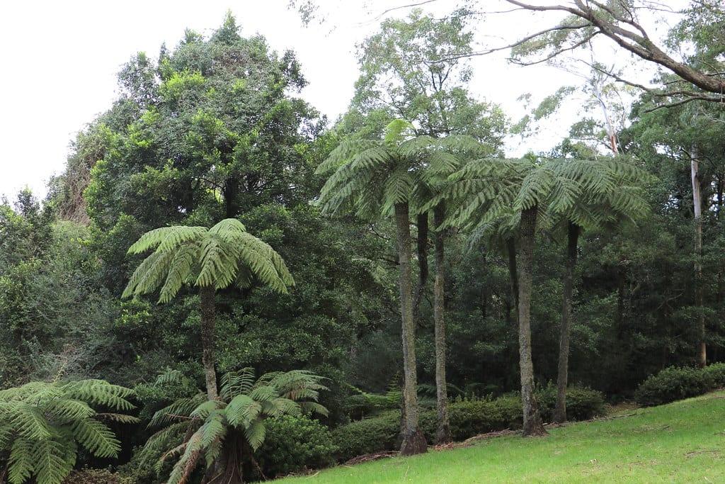 Vista de la Cyathea australis