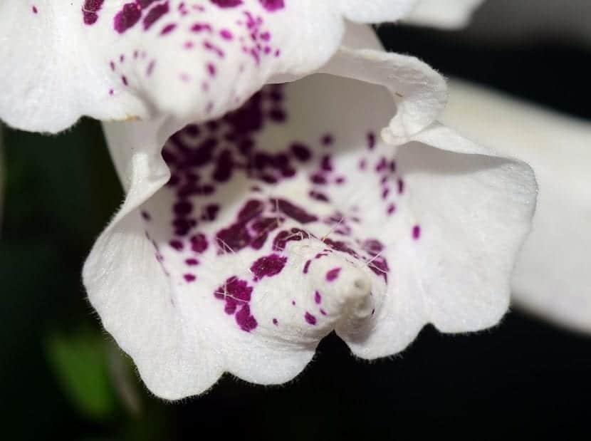 Las flores de la dedalera pueden ser blancas