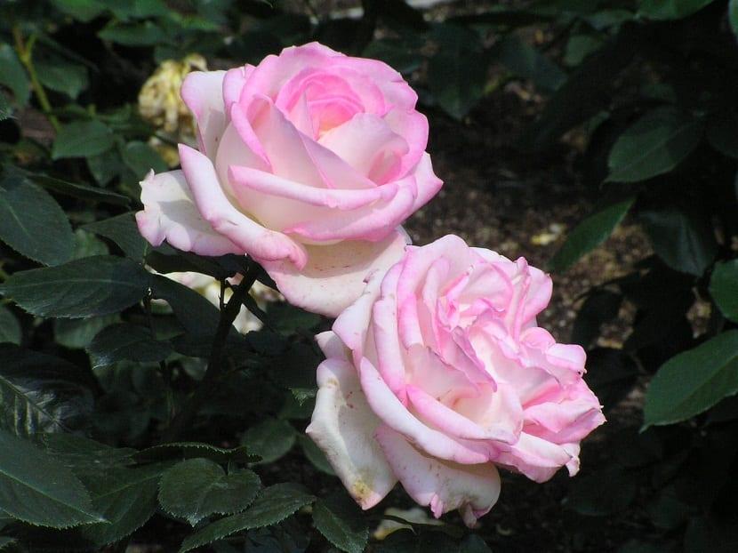 dos flores de tamano grande y de color rosa palido