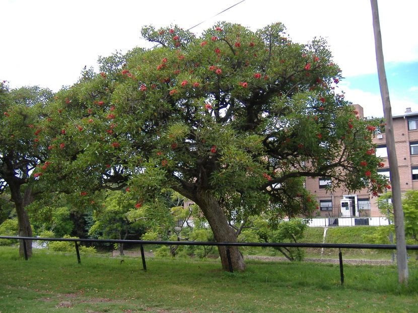 Vista de un árbol adulto de flor de coral
