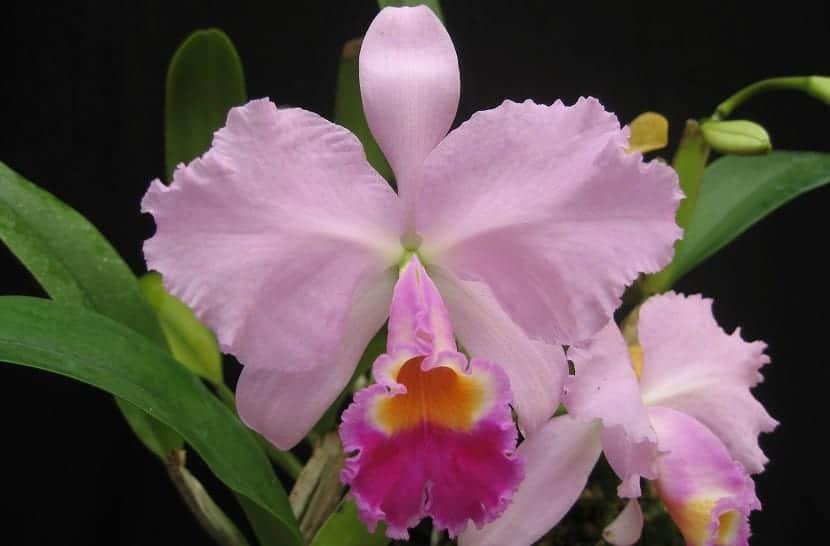 Conoces a la orquídea llamada Cattleya trianae o Lirio de mayo?
