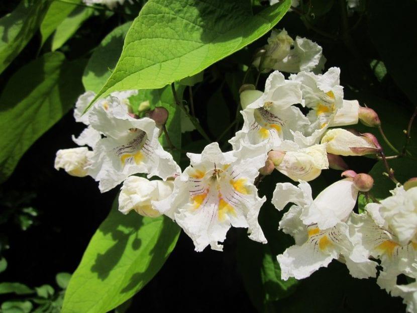 Las flores de la catalpa son grandes