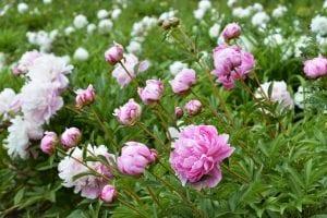 flores de color rosa y blanco llamadas Peonías rosas