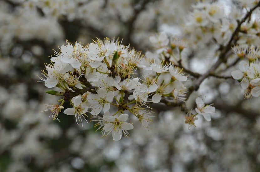 flores del espino blanco o Crataegus