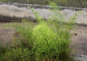 El helecho de Sumatra es una planta bonita