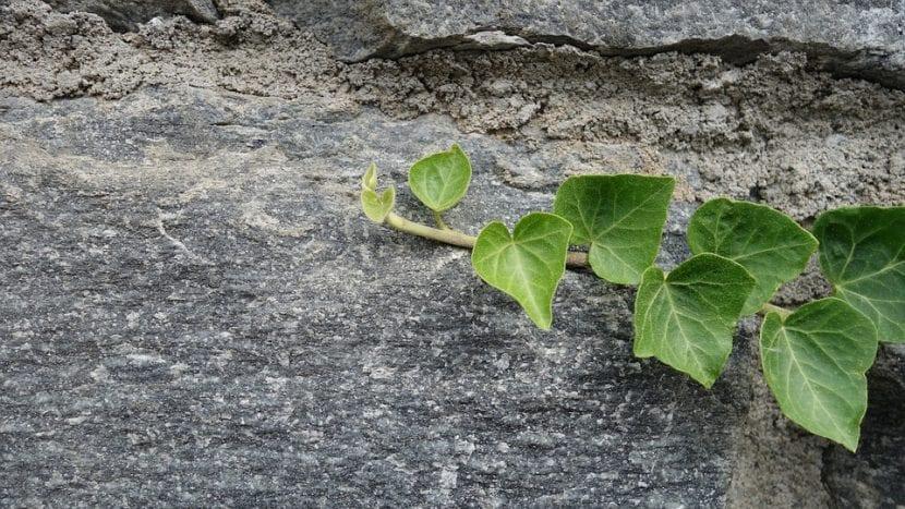 La hiedra es una planta cubresuelos
