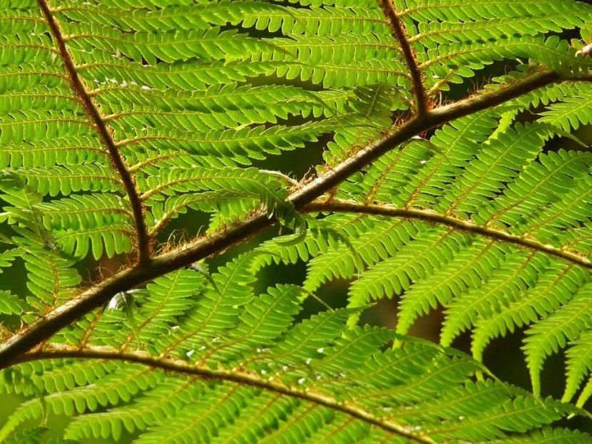 Las hojas de los helechos son pinnadas