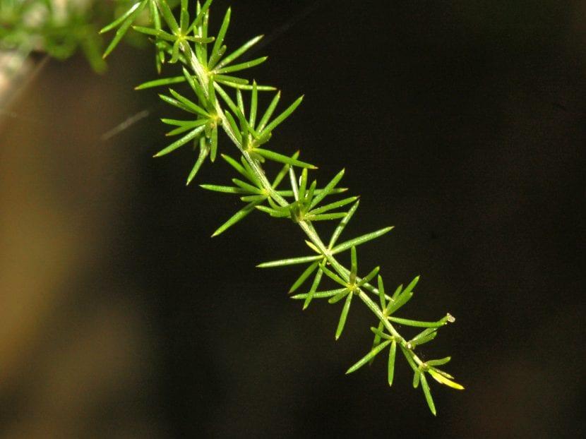Vista de las hojas del espárrago triguero