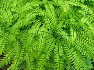 Las frondes del Blechnum spicant son verdes