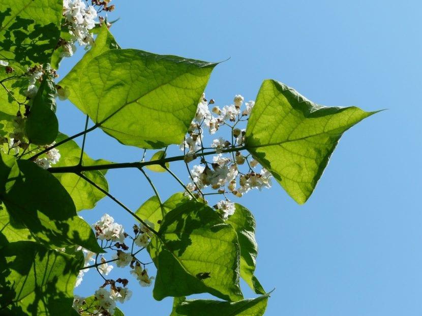 Las hojas de la Catalpa son caducas