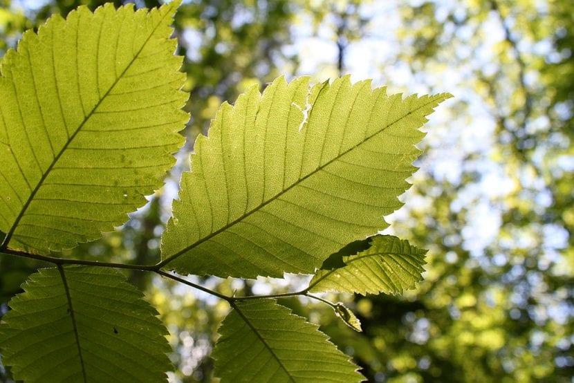 Las hojas del Ulmus laevis son caducas