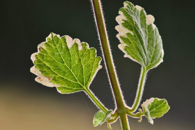 Vista de las hojas del incienso