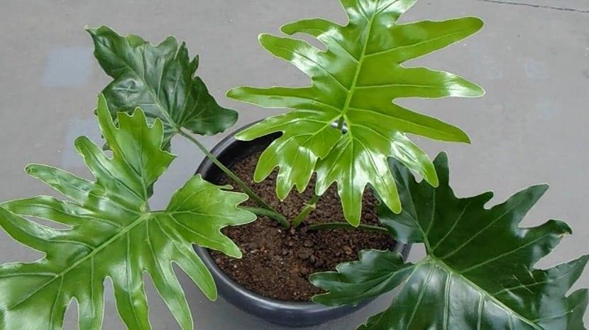 maceta con la planta de hojas grandes Philodendron xanadu