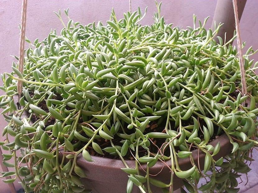 maceta llena de planta con ramas largas rastreras