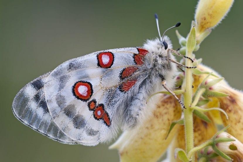 Las Digitalis atraen a las mariposas