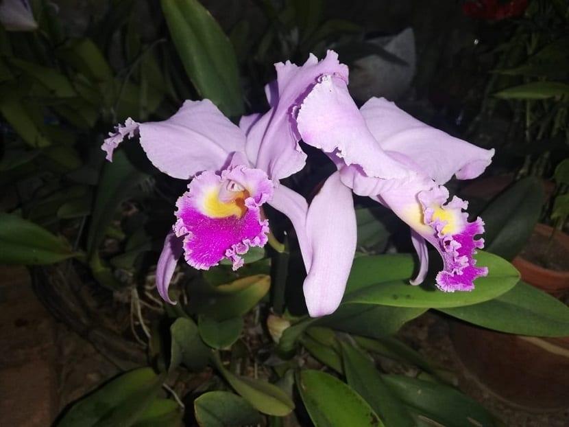 https://www.jardineriaon.com/como-reproducir-orquideas.html