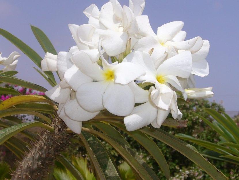 Las flores de los Pachypodium son blancas