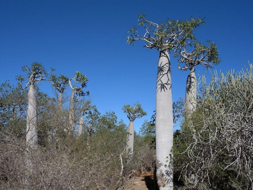 El Pachypodium geayi es un árbol suculento