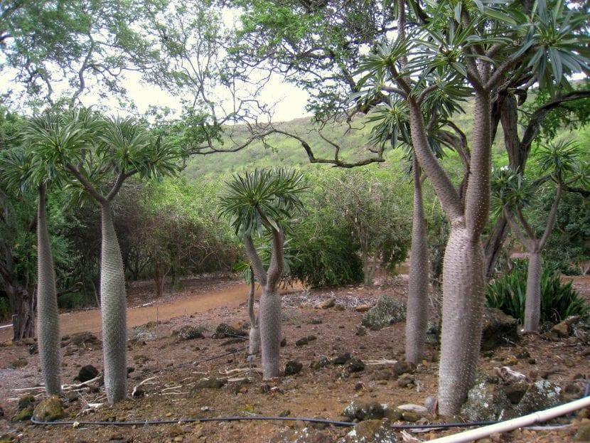 Vista del Pachypodium lamerei var. ramosum