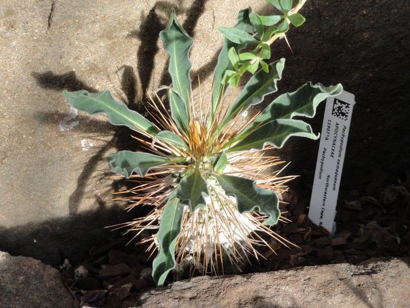 Pachypodium namaquanum, una planta de lento crecimiento