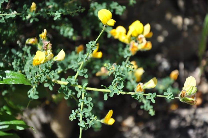 pequenas flores amarillas sobresalen de unas ramas