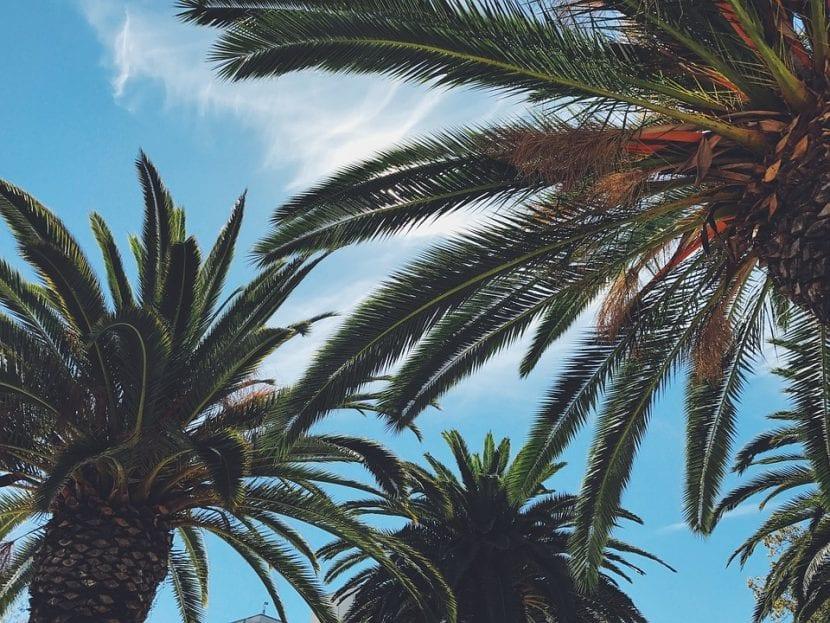 Las palmeras no son árboles