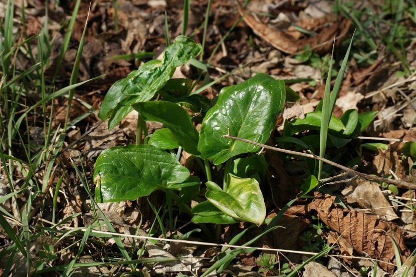 arbusto silvestre con una especie de racimos