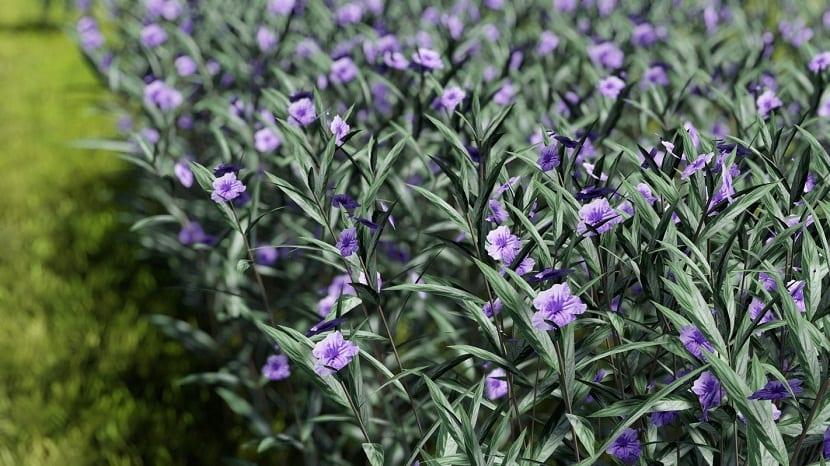 planta llena de pequenas florecillas de color lila