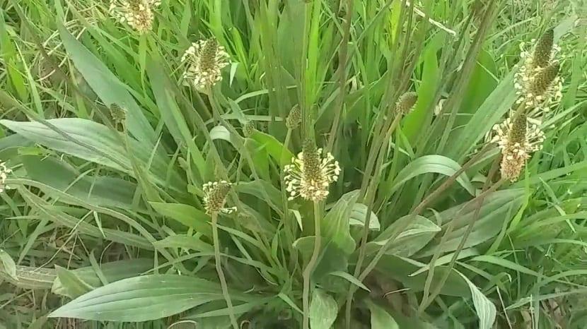 planta con grandes efectos medicinales para la salud