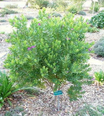 La Polygala es un arbusto de hoja perenne