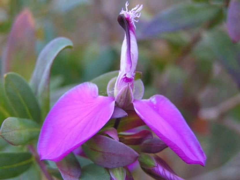 Las flores de la Polygala son pequeñas