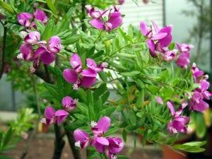 Las flores de la Polygala myrtifolia son rosadas
