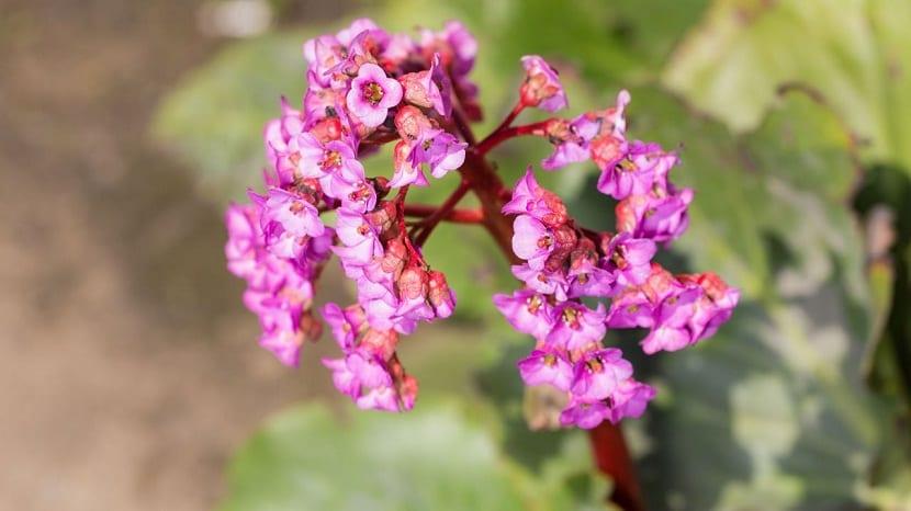 preciosas flores de color rosa que parecen trompetas