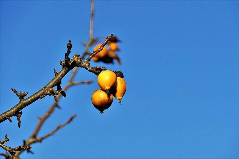 rama con tres frutas o bayas de color naranja