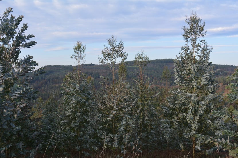ramas altas del arbol llamado Eucalyptus nitens