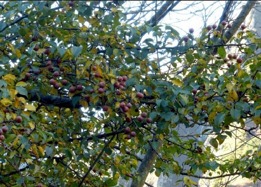 ramas llenas de peras de tamano pequeno