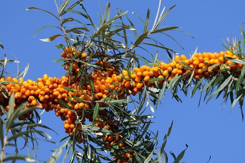 ramas repretas de frutas o bayas